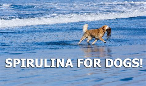 spirulina for dogs the health benefits of spirulina for dogs dogs naturally magazine