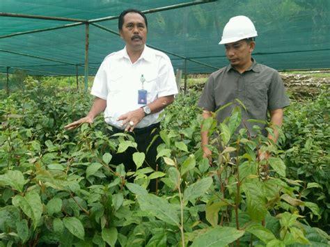 Pohon Tien Paket 3 Bibit tobapulp hasilkan 3 000 bibit pohon kemenyan per bulan
