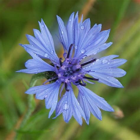 Photo De Jardinage by Photos Du Bleuet Centaurea Cyanus Jardinage