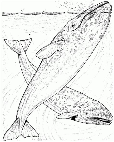 coloring page of humpback whale humpback whale coloring pages coloring home