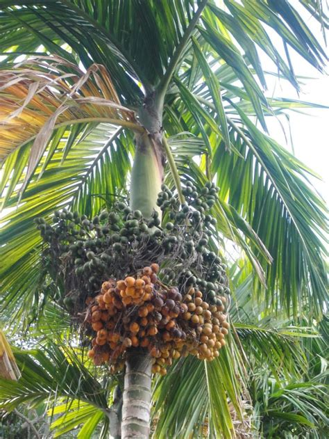 what fruit comes from a palm tree areca betel nut palm tree palm trees