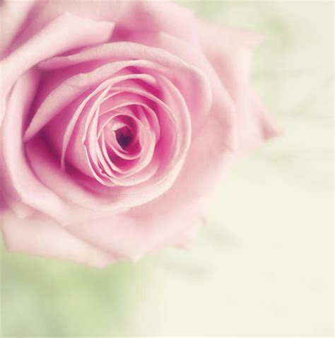 Pale Pink Roses Images