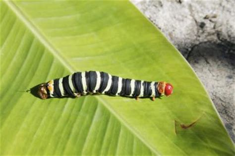 where to find caterpillars in your backyard garden pests black caterpillars with white red stripes