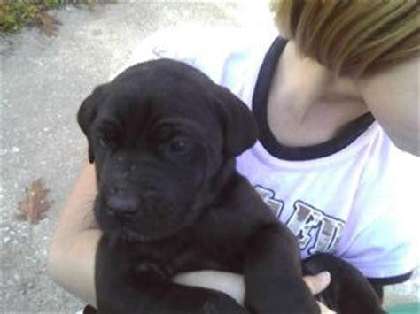 great dane mastiff mix puppies for sale great dane puppies in missouri
