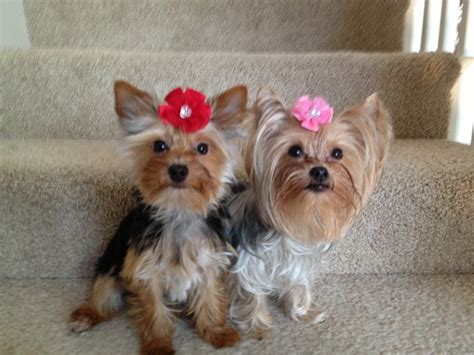 yorkies with bows new bows for yorkies pets yorkie