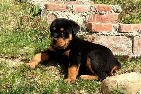 rottweiler puppies bc rottweiler puppy for sale near san diego california 74449724 37a1
