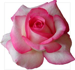 wisconsin roses quality bare root maiden roses