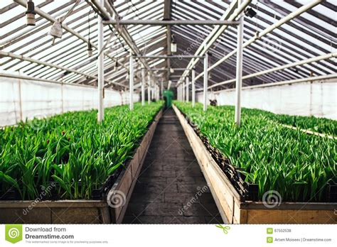 wallpaper of green house cultivation of tulips in greenhouse perspective stock