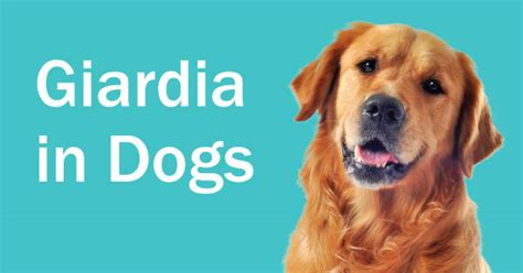 what is giardia in dogs giardia in dogs