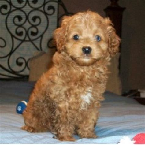 cockapoo puppies for sale ohio cpuppies cockapoo breeder in new carlisle ohio listing id 12170