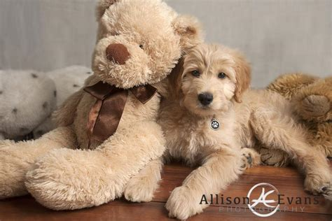 goldendoodle puppy ranch sheepadoodle puppies carolina 4k wallpapers