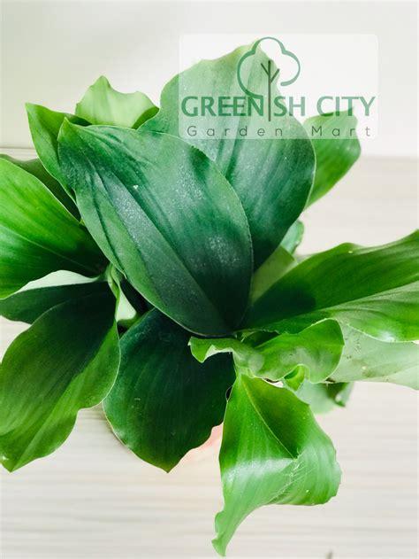 gnc aromatic ginger herb plant herbs pokok herba cekur