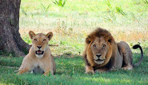 imagenes leones y leonas so 241 ar con leones qu 233 significa so 241 ar con leones sue 241 os