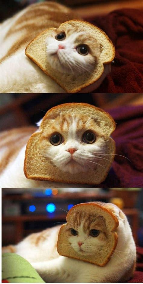 Cat Toast Meme - bread cat cute pinterest