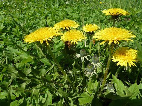 tarassaco fiore tarassaco i fiorellini gialli dalle propriet 224 inaspettate
