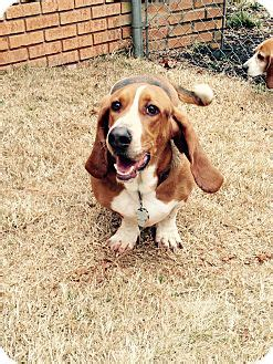 puppies for adoption columbia sc columbia sc basset hound meet ricky bobby a for adoption