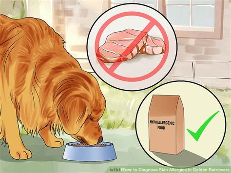 golden retrievers and skin allergies how to diagnose skin allergies in golden retrievers 10 steps