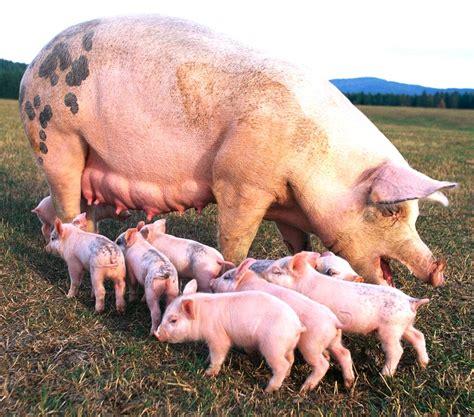 imagenes graciosas de cerdos para navidad la produccion de lechones y engorde de cerdos se ha