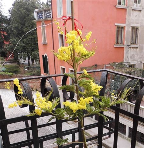 pianta mimosa in vaso mimosa in fiore csi multimedia