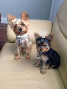 haircut for morkies my girls yorkie haircut yorkie cuts pinterest