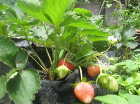 Tempat Jual Bibit Strawberry cara menanam strawberry di pot dari biji bibitbunga