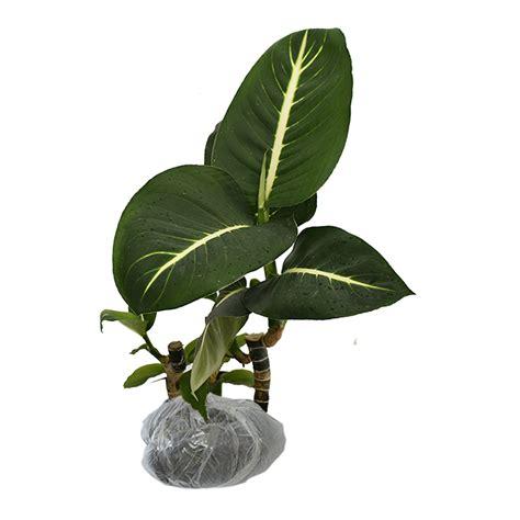 tanaman aglaonema dark green bibitbungacom