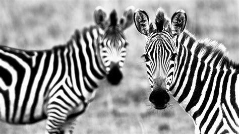zebra wallpaper pinterest http allgamewallpapers com wallpapers full pictures
