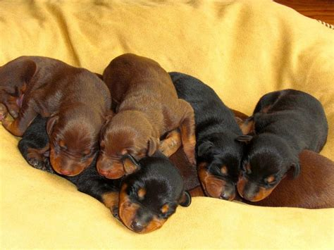 buy doberman puppy buy sell adopt doberman puppies in india pets world