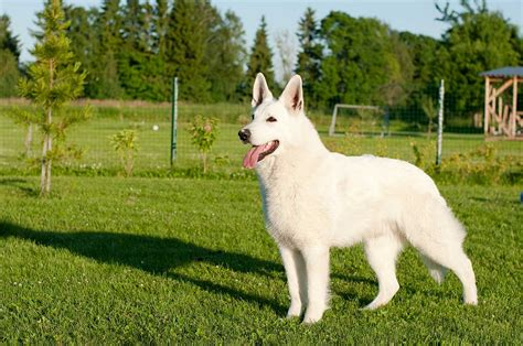 white puppy breeds white shepherd breed 187 everything about white german shepherds