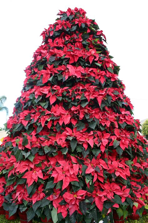 poinsettia tree classics flowers blog