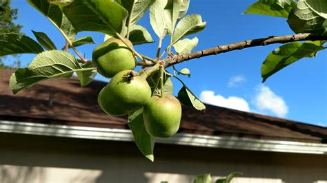 thinning fruit on apple trees question on thinning apple trees general fruit growing