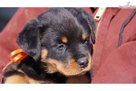 rottweilers for sale in michigan rottweiler for sale for 1 200 near flint michigan 3e2b2e71 8b31