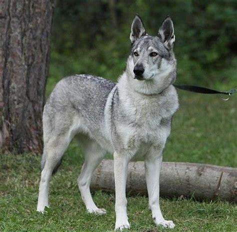 czechoslovakian wolfdog puppies for sale z devinskej czechoslovakian wolfdog breeder bratislava slovakia