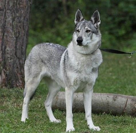 czechoslovakian wolfdog puppies z devinskej czechoslovakian wolfdog breeder bratislava slovakia