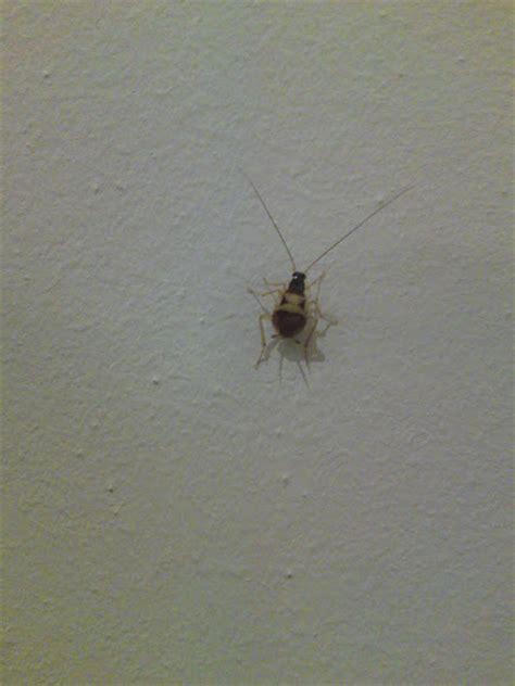 Baby Kakerlake by Baby Cockroach Project Noah