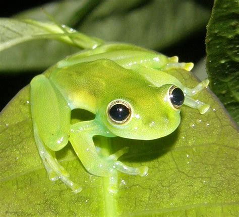 imagenes groseras de la rana centrolenidae wikipedia la enciclopedia libre
