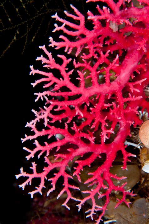 pink coral skip s underwater image gallery gt fiordland 2010