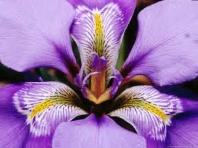 i is for iris flower blog