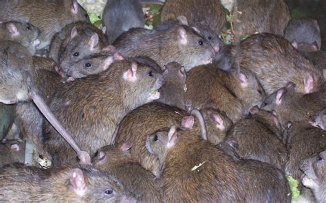 how to get rid of rats in your house or attic