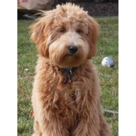 Goldendoodle Mini Michigan Www Proteckmachinery