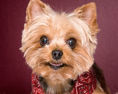 top 10 cutest yorkies yorkie quotes quotesgram