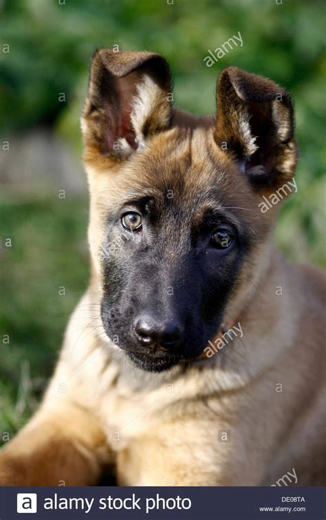 malinois breed belgian malinois puppies mix www pixshark images galleries with a bite