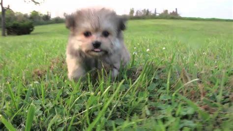 shipom puppies dachshund shi pom puppies merry betsie ace