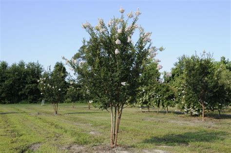 In High Cotton high cotton crapemyrtle worthington farms inc