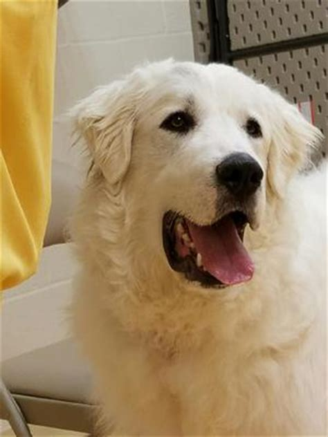 9 month golden retriever behavior 9 month great pyrenees rescued