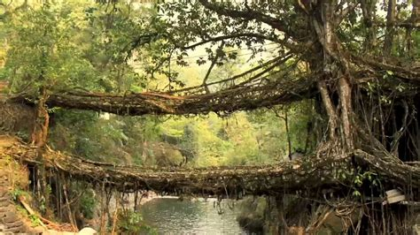 living bridges living root bridges speakzeasy