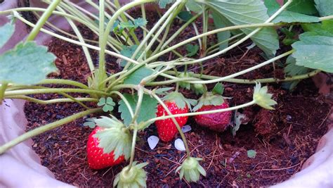 Jual Jual Bibit Strawberry jual bibit strawberry jual bibit tanaman dan jasa