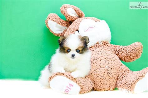 pomeranian puppies for sale columbus ohio 119 best pomeranian puppies for sale images on pomeranians