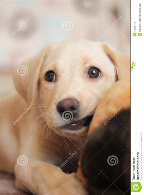 how to keep a golden puppy away from the xmas tree golden labrador puppy royalty free stock images image 34636379