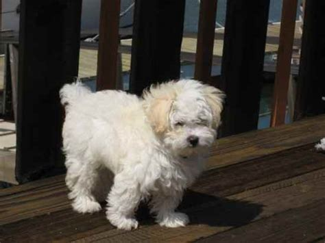 havanese mix rescue rottle information and pictures rottle photo breeds picture